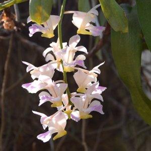 Flore - Laos