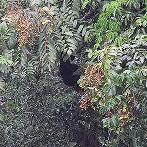 Obvervation d'un Gibbon dans son milieu naturel au Laos