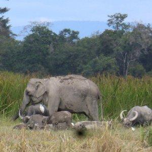 Famille d'éléphants sur la colline de Phou Assa,  Champassak - Laos