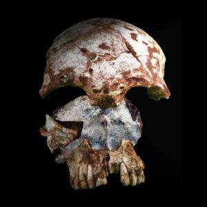Crane fossile de l'homme préhistorique du Laos