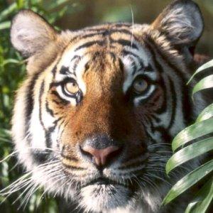 Tigre d'Indochine dans le Houa Phan - Laos