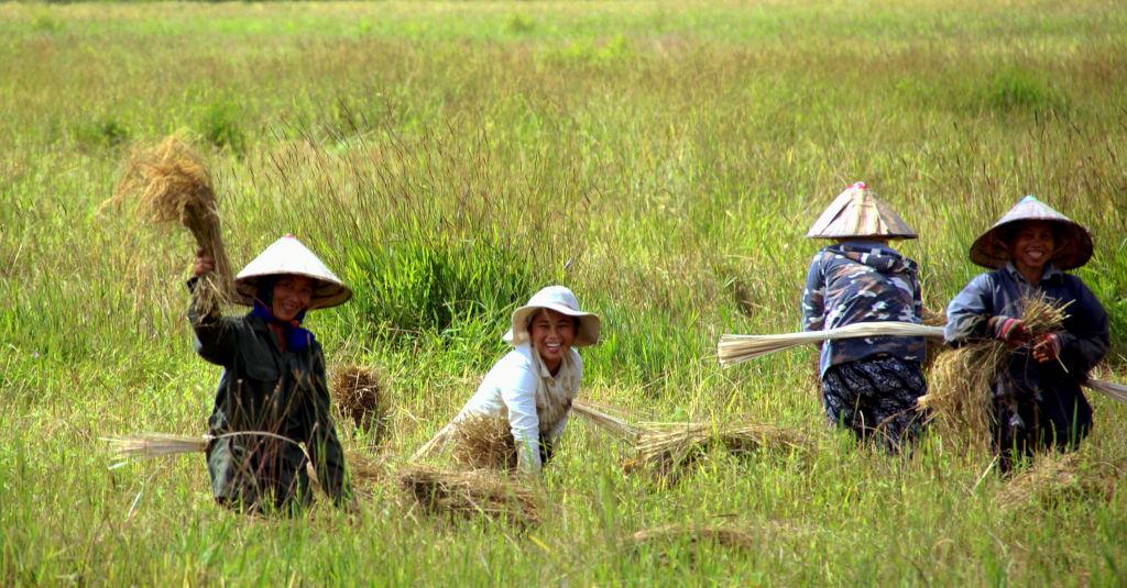 Femmes au travail dans les rizières de Savannakhet au Laos.